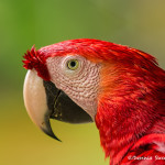 3112 Scarlet Macaw (Ara ambiguus). Costa Rica