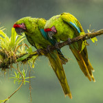 3113 Great Green Macaw (Ara ambiguus), Costa Rica