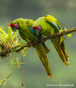 3113 Great Green Macaw (Ara ambiguus), Costa Rica