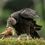 3115 Black Vulture (Coragyps atratus). Laguna del Lagarto, Costa Rica