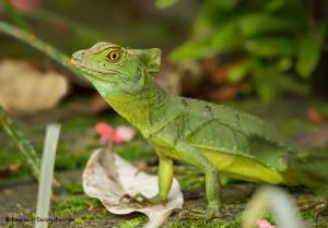 3116 Green Basilisk Lizard (Basiliscus plumifrons), Selva Verde Lodge, Costa Rica