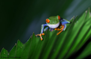3117 Red-eyed Green Tree Frog (Agalychnis callidryas). Selva Verde Lodge, Costa Rica