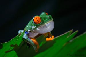 3118 Red-eyed Green Tree Frog (Agalychnis callidryas). Selva Verde Lodge, Costa Rica