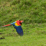 3124 Scarlet Macaw (Ara ambiguus). Costa Rica