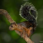3125 Variegated Squirrel (Sciurus variegatoides). Selva Verde, Costa Rica