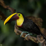 3126 Chestnut-mandibled Toucan (Ramphastos swainsonii). Selva Verde Lodge, Costa Rica