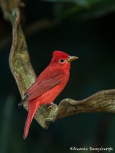 3130 Summer Tanager (Piranga rubra). Selva Verde Lodge, Costa Rica