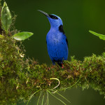 3131 Red-legged Honeycreeper (Cyanerpes cyaneus). Selva Verde Lodge, Costa Rica