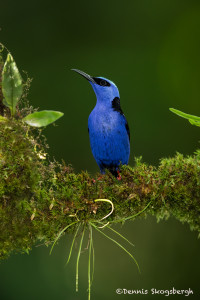 3131 Red-legged Honeycreeper (Cyanerpes cyaneus). Selva Verde Lodge, Costa Rica