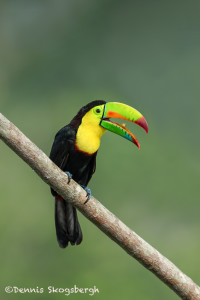 3133 Keel-billed Toucan (Ramphastos sulfuratus), Laguna del Lagarto, Costa Rica