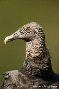 3134 Black Vulture (Coragyps atratus). Laguna del Lagarto, Costa Rica