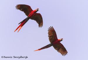3135 Scarlet Macaw (Ara ambiguus). Costa Rica