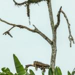 3136 Iguana, Muelle, Costa Rica