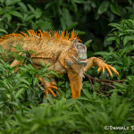 3137 Iguana, Muelle, Costa Rica