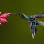 3144 Green-Hermit (Phaethornis guy). Bosque de Paz, Del Toro, Costa Rica