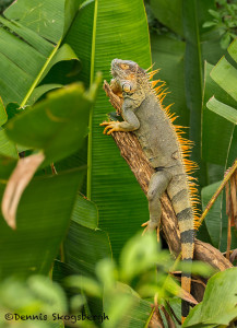 3147 Iguana, Muelle, Costa Rica