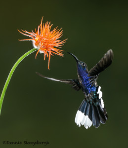 3149 Violet Sabrewing (Camphylopterus hemileucurus). Catarata Del Toro, Costa Rica