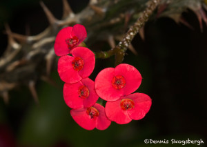 3151 Hotel Bougainvillae Gardens, Costa Rica, flower