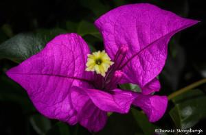 3152 Bougainvillea Flower, Hotel Bougainvillae Gardens, Costa Rica