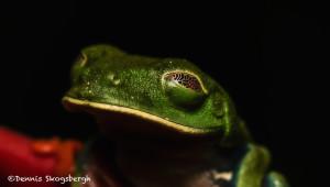 3154 Red-eyed Green Tree Frog (Agalychnis callidryas). Selva Verde Lodge, Costa Rica