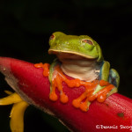 3155 Red-eyed Green Tree Frog (Agalychnis callidryas). Selva Verde Lodge, Costa Rica