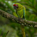 3156 Great Green Macaw (Ara ambiguus), Costa Rica