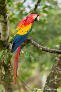 3159 Scarlet Macaw (Ara ambiguus). Costa Rica