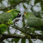 3160 Yellow-naped (Amazona auropalliata) L, and Red-lored (Amazona autumnalis) R Parrots, Costa Rica