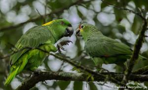3160 Yellow-naped (Amazona auropalliata) L, and Red-lored (Amazona autumnalis) R Parrots, Costa Rica