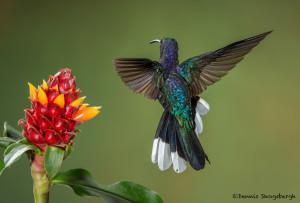 3167 Violet Sabrewing (Campyloptorus hemileucurus), Bosque de Paz, Costa Rica