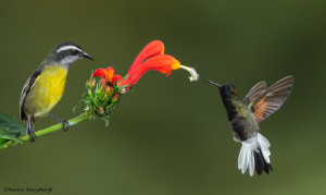 3171 Bananaquit (Coereba flaveola) and Black-bellied Hummingbird (Eupherusa nigriventris). Catarata Del Toro, Costa Rica