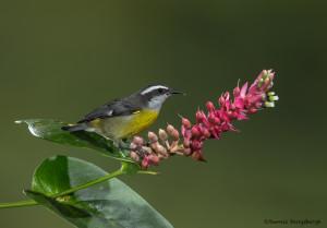 3173 Bananaquit (Coereba flaveola). Catarata Del Toro, Costa Rica