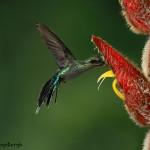 3180 Green-Hermit (Phaethornis guy). Catarata Del Toro, Costa Rica