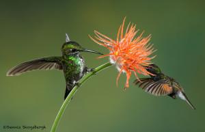 3181 Green-crowned Brilliant (Heliodoxa jacula) and Black-bellied Hummingbird (Eupherusa nigriventris). Catarata Del Toro, Costa Rica