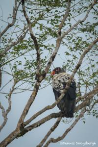 3183 King Vulture {Sarcoramphus papa) Laguna del Lagarto, Costa Rica