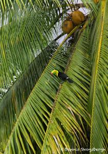 3185 Keel-billed Toucan (Ramphastos sulfuratus), Laguna del Lagarto, Costa Rica