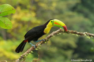 3186 Keel-billed Toucan (Ramphastos sulfuratus), Laguna del Lagarto, Costa Rica
