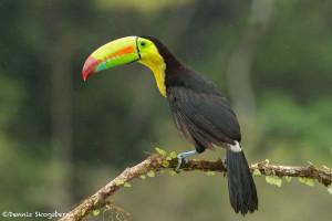3187 Keel-billed Toucan (Ramphastos sulfuratus), Laguna del Lagarto, Costa Rica