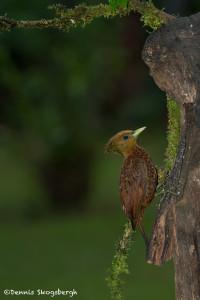 3188 Female Chestnut-colored Woodpecker (Celeus castaneus). Laguna del Lagarto, Costa Rica