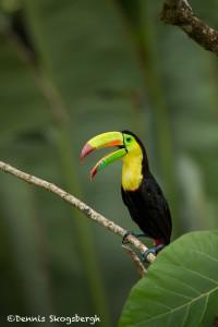 3189 Keel-billed Toucan (Ramphastos sulfuratus), Laguna del Lagarto, Costa Rica