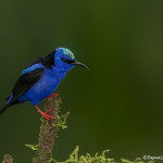 3190 Breeding Male Red-legged Honeycreeper (Cyanerpes cyaneus), Laguna del Lagarto, Costa Rica