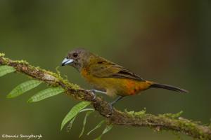 3191 Immature Male Passerini's Tanager (Ramphoceleus passerinii). Laguna del Lagarto, Costa Rica
