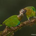 3197 Brown-hooded Parrots (Pionopsitta haematosis), Laguna del Lagarto, Costa Rica