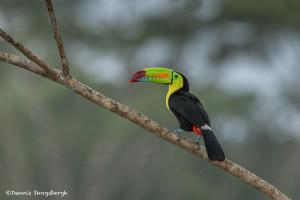 3198 Keel-billed Toucan (Ramphastos sulfuratus), Laguna del Lagarto, Costa Rica