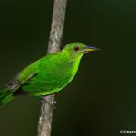 3199 Female Green Honeycreeper (Chlorophanes spiza), Laguna del Lagarto, Costa Rica