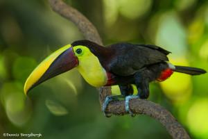 3209 Chestnut-mandibled Toucan (Ramphastos swainsonii). Selva Verde Lodge, Costa Rica