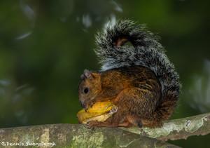 3208 Variegated squirrel (Sciurus variegatoides). Selva Verde Lodge, Costa Rica