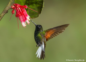 3214 Black-bellied Hummingbird (Eupherusa nigriventris). Catarata Del Toro, Costa Rica