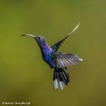 3215 Violet Sabrewing (Campyloptorus hemileucurus), Bosque de Paz, Costa Rica