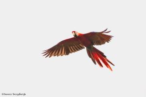 3216 Scarlet Macaw (Ara ambiguus). Costa Rica